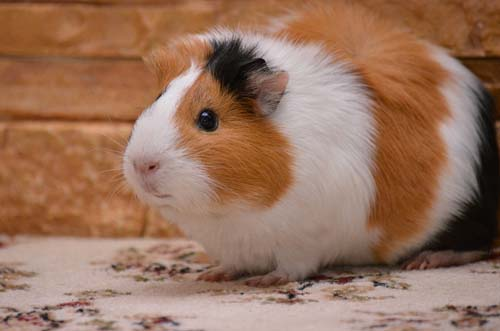 Making Sure Your Pet Guinea Pig is Properly Groomed